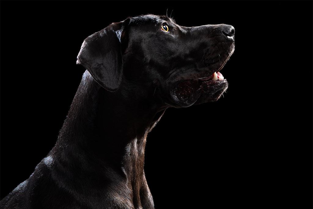 Black Labrador Dog Captured At Happy Snapz Photography Studio in Todmorden